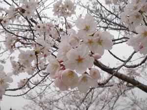 Sakura4